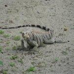 One of the many iguanas on Palm Island