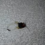 cockroach or water beetle, you be the judge. Either way I don't want to be sleeping with them or