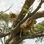 Tree Climbing Lions in Ishasha Queen Elizabeth