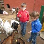 avec les chèvres naines