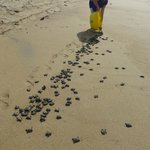 Releasing baby turtles on the beach