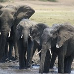Elefantes cruzando el Zambezi