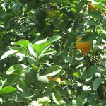 Неподалеку от отеля растут апельсины на деревьях