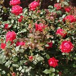 Cathy's roses