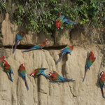 The Macaw Clay Lick