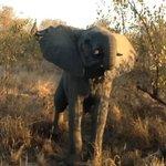 elefante che difende il cucciolo