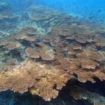 Giant coral