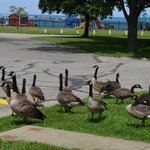 Canada Geese with playground and Lake Erie in background.