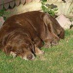 Labrador du maharadja