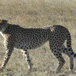 My Prince - the Cheetah