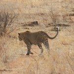 Leopard leaving us