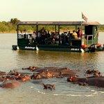 Un embouteillage d'hippopotames !