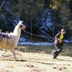 Llama races in the morning were one of the highlights of the day.