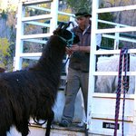 Stuart was so organized with each step of the experience, even when loading up the llamas at the