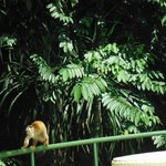 Squirrel monkey by the pool.