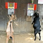 Goats trying to self-serve! :)