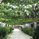 Grapevine canopy on the way to your room.