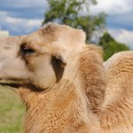 A Camel at the Safari