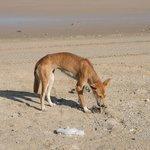 Hungry dingo on the beach