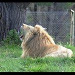 Beautiful male white lion.