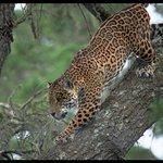 Jaguar enjoying his large enclosure.