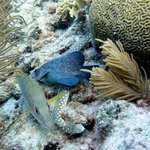 Schoolmaster, Spotted Eel and Soapfish at shallow edge of Belmar Reef