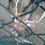 ci sono anche dei cervi, ed altri animali da cortile
