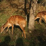 Antelopes on the complex