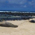 Monk Seal at Poipu Beach