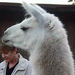 Llamas are fun