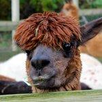 Friendly female alpaca