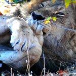 Bath time for Mr. Lion