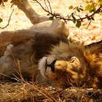 Lion napping by the air strip