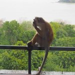 Cheeky macaques frequently check balconies for food