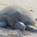 Sea turtle North Shore