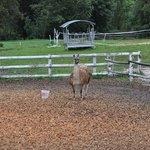 Reitstall: Lama im Viereck :)