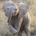 Baby Elephant seen on the Mara