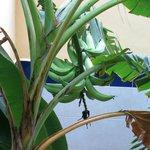 Бананы под балконом