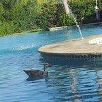 Un pato en la piscina???