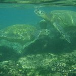 Turtles at Kamaole Beach