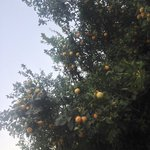 Some citrus fruits around the grounds
