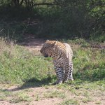 leopard on Bushwise safari