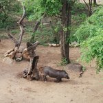 friendly warthog on lodge grounds