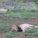 lions on Bushwise safari