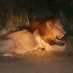 roadside lion on Bushwise safari