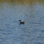 Pied-billed Grebe from afar