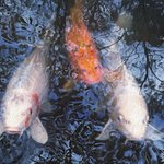 The Koi in the Winterthur pond