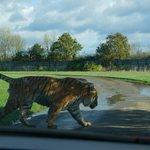 Quand un tigre traverse devant vous...