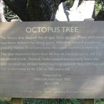 "About the ""octopus"" tree"