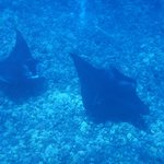 Manta Rays at the reef